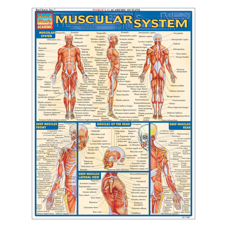QuickStudy Laminated Reference Guides - Muscular System