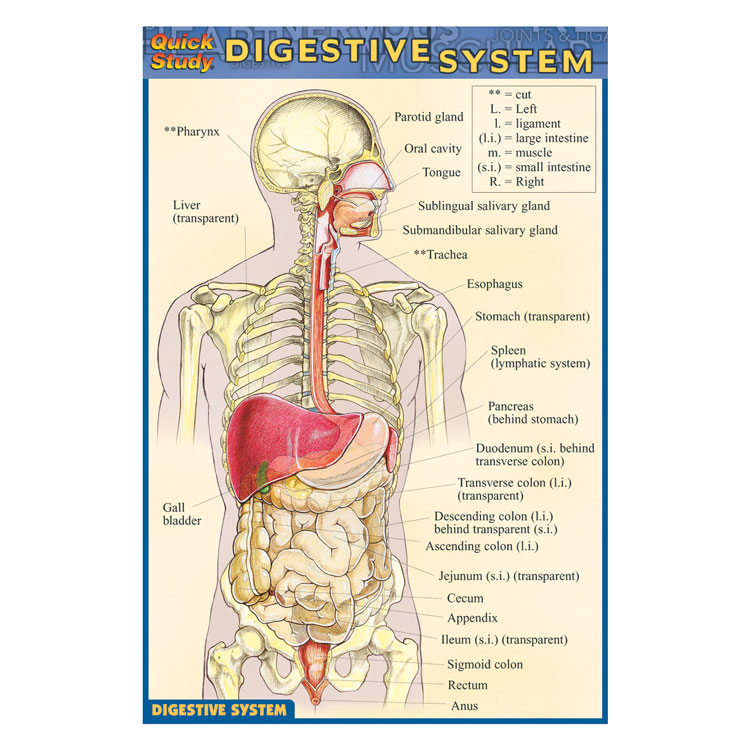 QuickStudy Pocket Guides - Digestive System