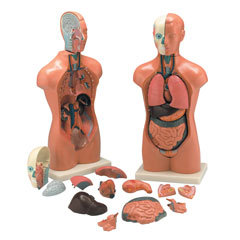 Anatomical Models & Charts