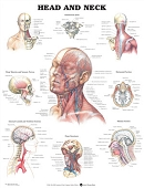 Head and Neck Chart