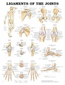 The Ligaments of the Joints Chart