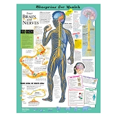 Kate Sweeney Elementary Health Charts:  Your Brain and Nerves