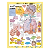 Kate Sweeney Elementary Health Charts:  Your Respiratory System