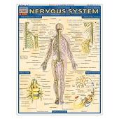QuickStudy Laminated Reference Guides - Nervous System
