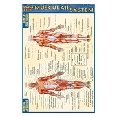 QuickStudy Pocket Guides - Muscular System