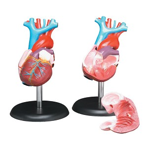 Life-Size Heart Model
