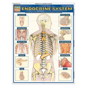 QuickStudy Laminated Reference Guides - Endocrine System
